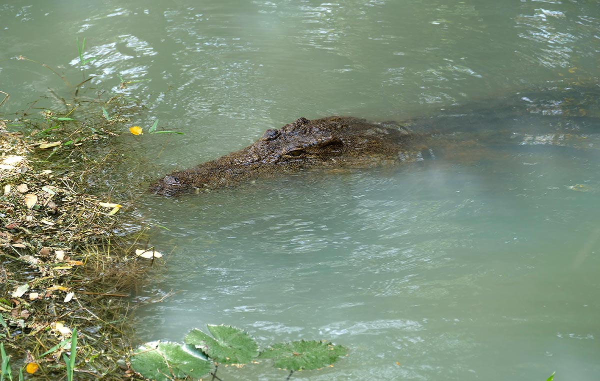A crocodile in Yahya Jammeh's private pond
